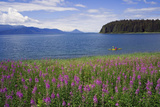 Man Sea Kayaking Along Shoreline of Admiralty Island with Fireweed Southeast Ak Inside Passage Summ Photographic Print by  Design Pics Inc