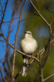 Portrait of a Northern Mockingbird, Mimus Polyglottos, Perched in a Tree Top Photographic Print by Kent Kobersteen