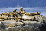 Steller Sea Lions on Haulout South Marble Island Glacier Bay National Park Southeast Alaska Summer Photographic Print by  Design Pics Inc