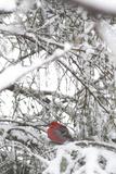 Pine Grosbeak on Snowy Branch Winter Sc Alaska Papier Photo par  Design Pics Inc