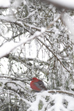 Pine Grosbeak on Snowy Branch Winter Sc Alaska Photographic Print by  Design Pics Inc