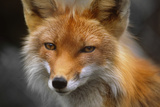 Captive: Close Up of Red Fox at the Alaska Wildlife Conservation Center Reproduction photographique par  Design Pics Inc