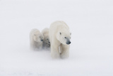 Mother Polar Bear and 2 Cubs in Snow Storm Churchill Canada Winter Photographic Print by  Design Pics Inc