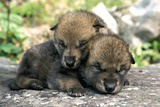 Captive Wolf Pups on Rock Minnesota Photographic Print by  Design Pics Inc