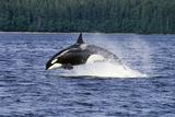 Orca Whale Breaching Cross Sound Inside Passage Se Ak Southeast Alaska Summer Fotografisk tryk af  Design Pics Inc
