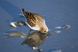 Western Sandpiper Feeding Hartney Bay Cordova Alaska Southcentral Summer Photographic Print by  Design Pics Inc