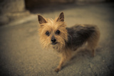 A Terrier Stands on the Street Photographic Print by Keith Ladzinski