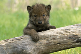 Captive Wolf Pup on Log Minnesota Photographic Print by  Design Pics Inc