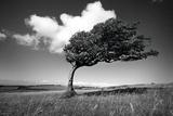 Wind-Swept Solitary Tree on Open Grassy Moorland Fotografie-Druck von  Design Pics Inc
