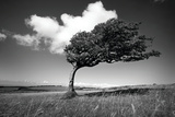 Wind-Swept Solitary Tree on Open Grassy Moorland Photographic Print by  Design Pics Inc