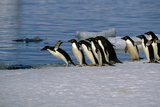 Adelie Penguins Jump from Iceberg Paulet Is Antarctic Summer Photographic Print by  Design Pics Inc