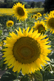 Sunflowers around San Casciano Dei Bagni, Tuscany, Italy Photographic Print by  Design Pics Inc