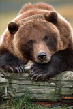 Brown Bear Rests with it Front Legs Outstrenched on a Log, Alaska Wildlife Conservation Center Photographic Print by  Design Pics Inc