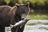 Brown Bear Feeds on Spawning Pink Salmon Photographic Print by  Design Pics Inc