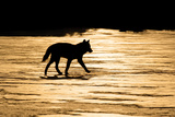 Silhouetted Archipelago Wolf Trotting across Snow Field in Evening Sunlight Southeast Alaska Winter Photographic Print by  Design Pics Inc
