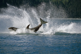 Double Breaching Orcas Bainbridge Passage Pws Ak Summer Sc Photographic Print by  Design Pics Inc
