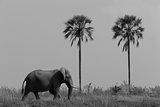 Elephant Walking in Northern Botswana Photographic Print by Beverly Joubert