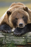 Brown Bear Rests with it Front Legs Outstrenched on a Log, Alaska Wildlife Conservation Center Fotografisk tryk af  Design Pics Inc
