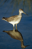 Greater Yellow-Legs Standing in Shallows Sc Ak Summer Photographic Print by  Design Pics Inc
