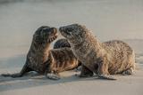 Sea Lion Pups on Espanola Island in the Galapagos Photographic Print by Karen Kasmauski