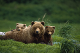 Grizzly Bear Mother and Cubs Lay in Field Southwest Ak - Nsummer Lámina fotográfica por  Design Pics Inc