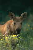 Moose Calf Stands in Yellow Flowers Kp Alaska Summer Reproduction photographique par  Design Pics Inc