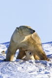 A Mother Polar Bear (Ursus Maritimus) with Her Cub in Wapusk National Park; Churchill Photographic Print by  Design Pics Inc