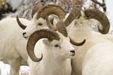 Group of Dall Sheep Denali National Park Interior Alaska Fall Reproduction photographique par  Design Pics Inc