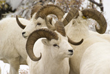 Group of Dall Sheep Denali National Park Interior Alaska Fall Photographic Print by  Design Pics Inc