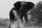 Elephant Dusting in Northern Botswana Fotografisk tryk af Beverly Joubert