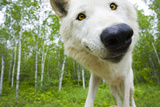Closeup of Adult Wolf Face in Forest Minnesota Spring Captive Photographic Print by  Design Pics Inc