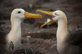 A Pair of Albatross Pair on Espanola Island in the Galapagos Photographic Print by Karen Kasmauski