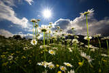 The Sun Shines on a Patch of Daisies Photographic Print by Keith Ladzinski