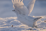 A Ptarmigan in its White Winter Plumage, Taking Flight Reproduction photographique par Peter Mather