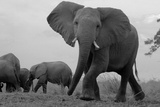 Elephant Herd Walking One Getting Separated and Defensive in Northern Botswana Photographic Print by Beverly Joubert