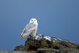 A Snowy Owl, Bubo Scandiacus, Perches on a Rock and Scans the Winter Landscape Photographic Print by Robbie George