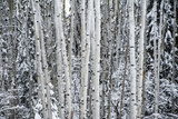 A Stand of Poplar Trees in a Snowy Forest Photographic Print by Peter Mather