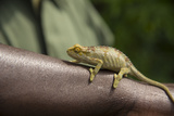 A Chameleon Perched on a Guide's Arm Photographic Print by Michael Melford