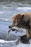 A Brown Bear Carries Away a Chum Salmon it Caught at the Mcneil River Falls Fotoprint van  Design Pics Inc