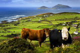Cattle in County Kerry, Ireland Fotografisk tryk af Chris Hill
