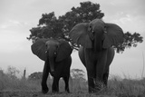Two Elephants Charging in Northern Botswana Photographic Print by Beverly Joubert