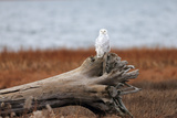 A Snowy Owl, Bubo Scandiacus, Perches on a Tree Stump on the Coast of Maine Photographic Print by Robbie George