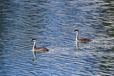 Two Western Grebes, Aechmophorus Occidentalis, Swimming Photographic Print by Robbie George