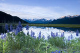 Lupine Blooms Along Pond 20-Mile River Valley Ak Sc Summer Chugach Mtns Photographic Print by  Design Pics Inc