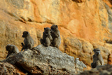 Five Baboons on a Rock Sitting and Grooming in Cederberg Wilderness Area, South Africa Photographic Print by Keith Ladzinski