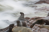 Brown Fur Seals, Arctocephalus Pusillus, Stands Strong Against the Waves in Cape Cross, Namibia Photographic Print by Alex Saberi