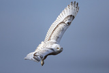 A Snowy Owl, Bubo Scandiacus, Flies over the Wintry Coast of Maine Photographic Print by Robbie George