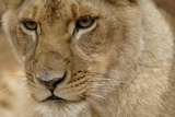 Portrait of a Lioness in an Animal Sanctuary in South Africa Stampa fotografica di Keith Ladzinski