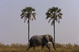 Elephant Walking Centered Between Two Palms in Northern Botswana Photographic Print by Beverly Joubert