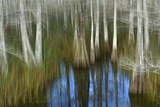 Cypress Trees in a Swamp Photographic Print by Raul Touzon